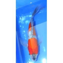 Tosaï : Goshiki voile 23cm...