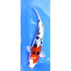 Doitsu Yamatonishiki 22 cm...