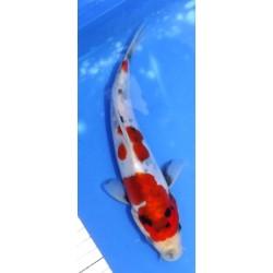 Doitsu Showa 22 cm éleveur...
