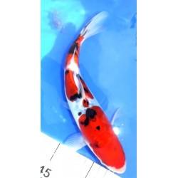 Tosaï : Doitsu Sanke 24 cm...