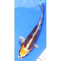 Kin Kikokuryu 17 cm éleveur...