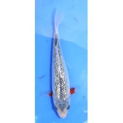 Tosaï : Ginrin Asagi 19 cm...