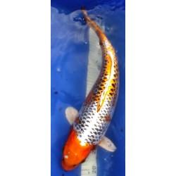 Kujaku 45-50cm Femelle