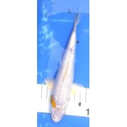 Ginrin Hariwake 20-25 cm