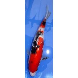 Sanke 30-35cm