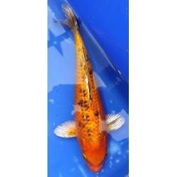 Kin Bekko 30-35 cm