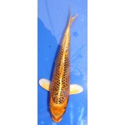 Ki Matsuba 25-30 cm