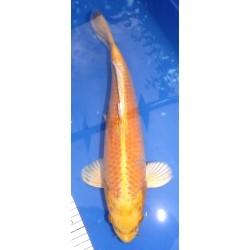 Yamabuki 35-40 cm