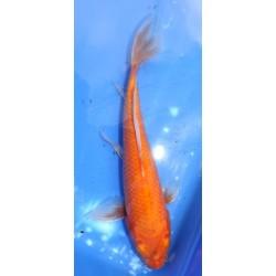 Red Karashigoï voile 25-30 cm