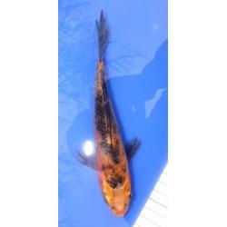 Ki Bekko voile 20-25 cm