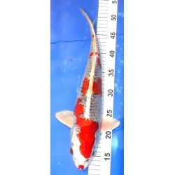 Kujaku 35-40 cm éleveur Aoki