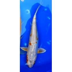 Doitsu Hariwake 20-25 cm