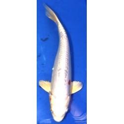 Doitsu Hariwake 25-30cm