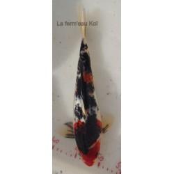 Goromo showa 30-35 cm