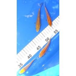 Tosaï 10-15 cm : reste 1...
