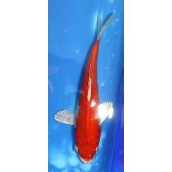 Tosaï 15-20 cm : Hariwake...