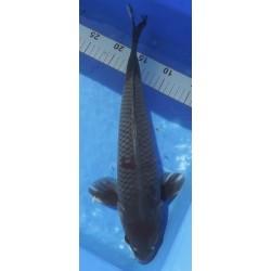 Maruten Ochiba 41cm Mâle...